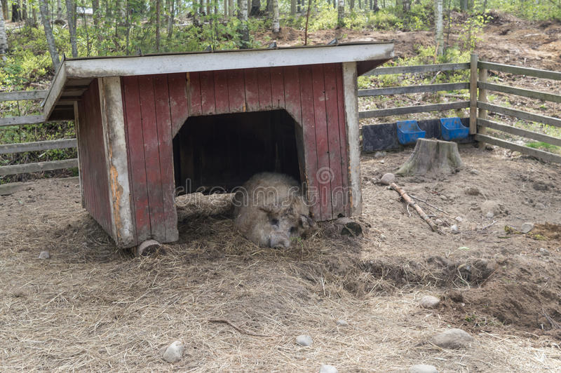 Adult Large pig in the doorway of a free range shelter sleeping in the zoo royalty free stock images