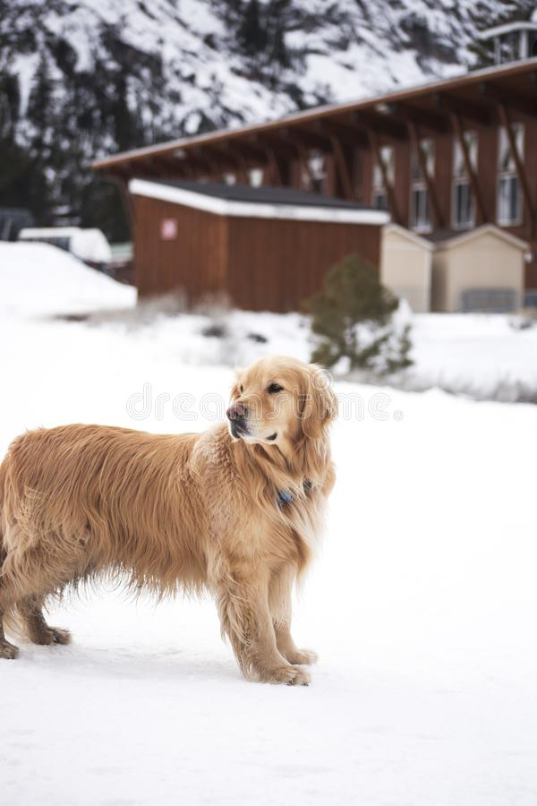 Adult Light Golden Retriever Stands on Snowfield Near Brown Wooden House at Daytime stock images