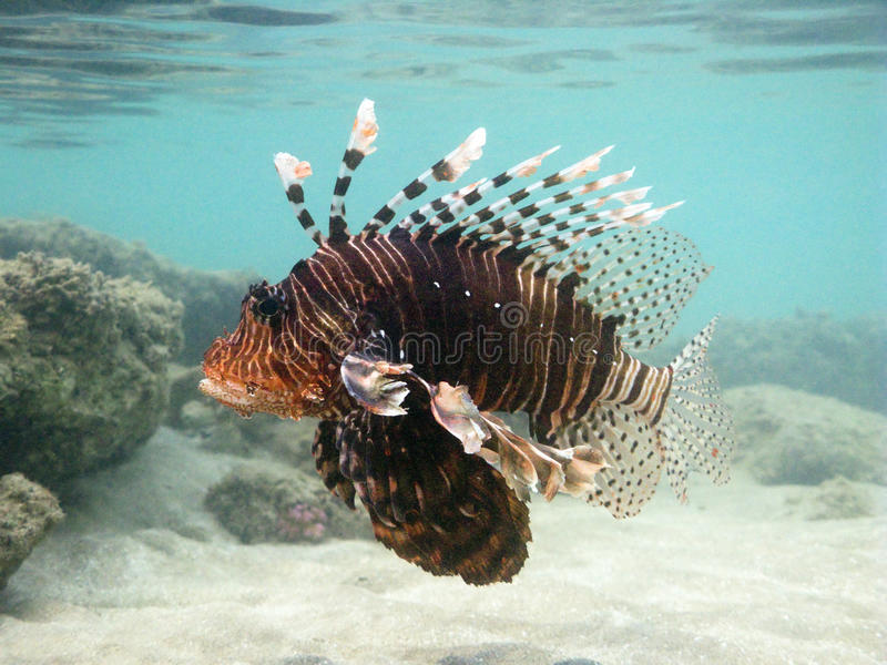 Download Adult Lion Fish stock image. Image of poison, spreaded - 10645795