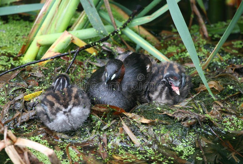 An adult Little Grebe Tachybaptus ruficollis sitting with her cute chicks. royalty free stock photo