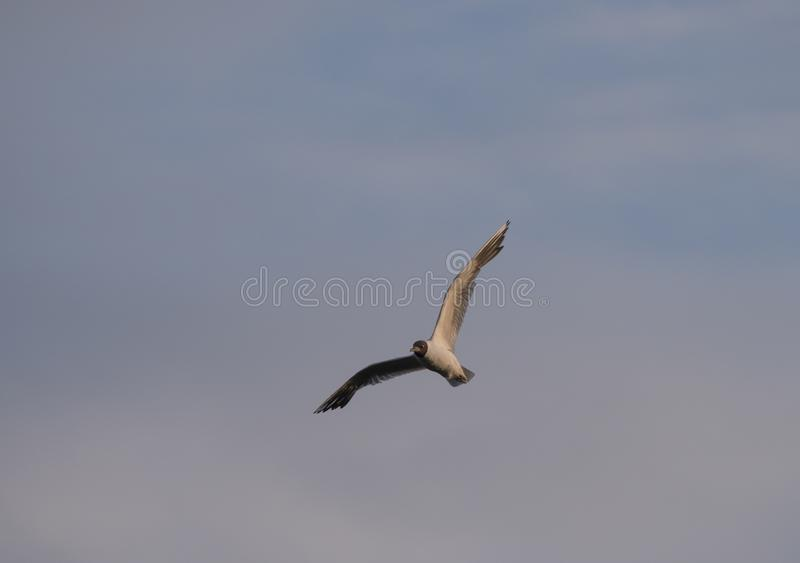 Adult Little Gull small seagull Larus minutus in flight against pink blue sky, sunset hour stock photography