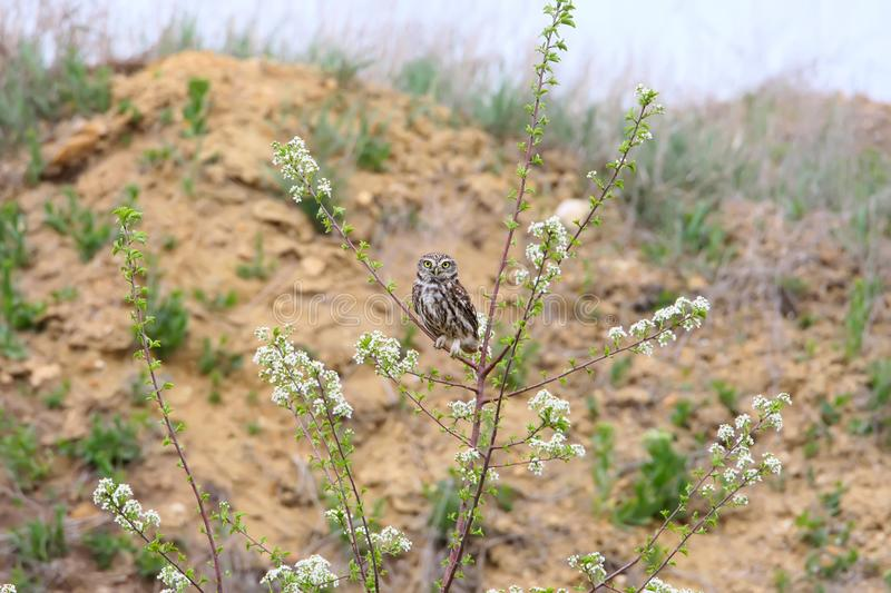 Adult little owl sits on a branch. Of blooming wild cherry stock photos