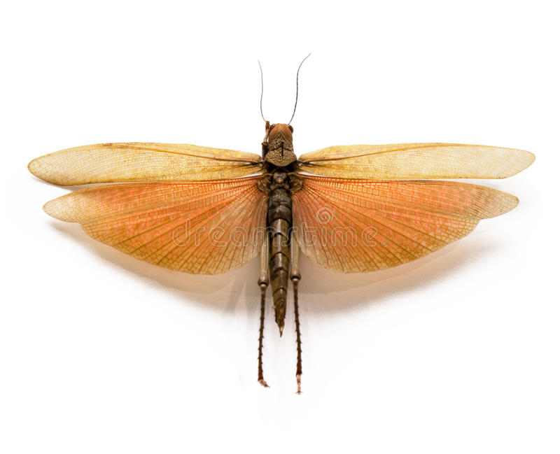 The adult locust on a white background. stock photos