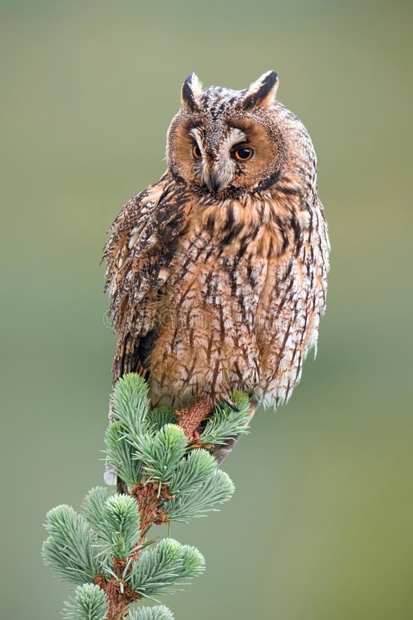 Adult long-eared owl sitting on top of tree in spring with green background stock image