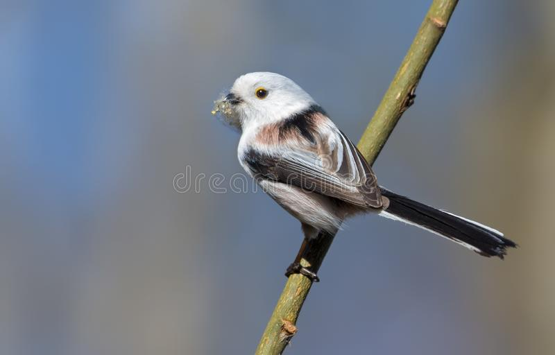 Adult Long-tailed Tit posing on small stick with lichen material for nest building in spring. Mature Long-tailed Tit sitting on small branch with lichen material royalty free stock image