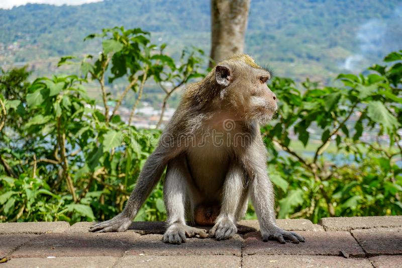 Adult macaque monkey sitting by the road, Bali, Indonesia royalty free stock photos