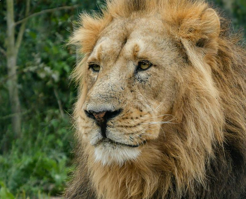 Adult male Asiatic Lion portrait, head and face, looking off into the distance with foliage background. Asiatic, or Asian, lions are now a critically stock photography