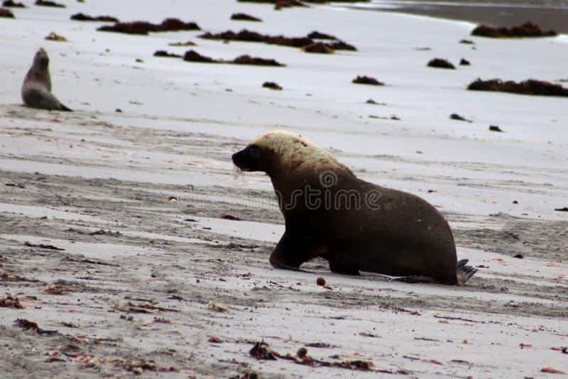 A adult male Australian Sea Lion go back the beach ,South Australia stock photos