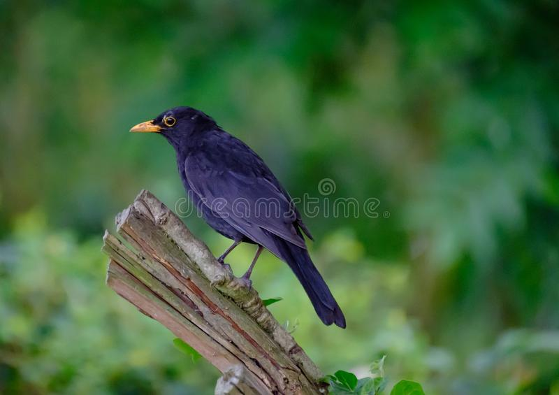 Majestic Blackbird seen perched on a tree stump in a garden. royalty free stock photos