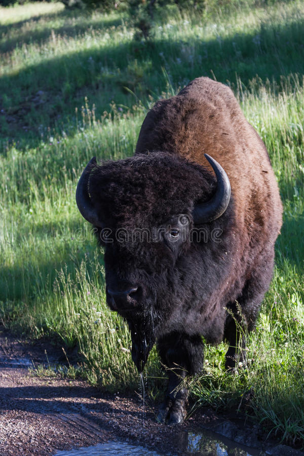 Free Adult Male Bison Or Bufalo Royalty Free Stock Photo - 43180415