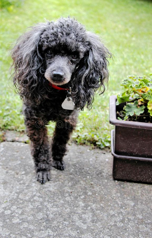 Adult black male poodle dog portrait royalty free stock image