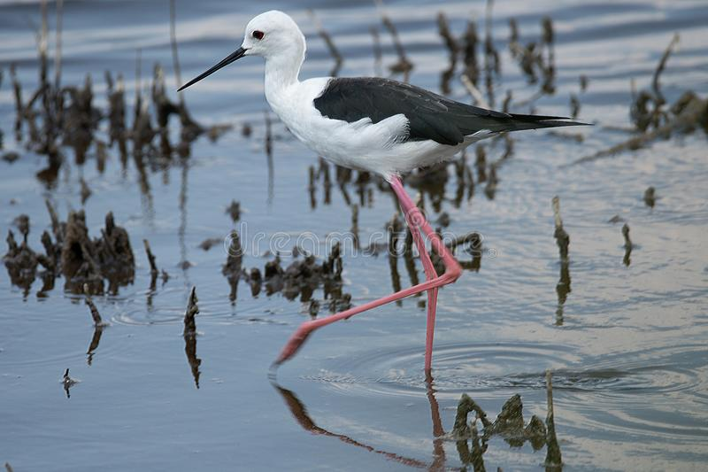 Adult male Black Winged Stilt on the move. royalty free stock image