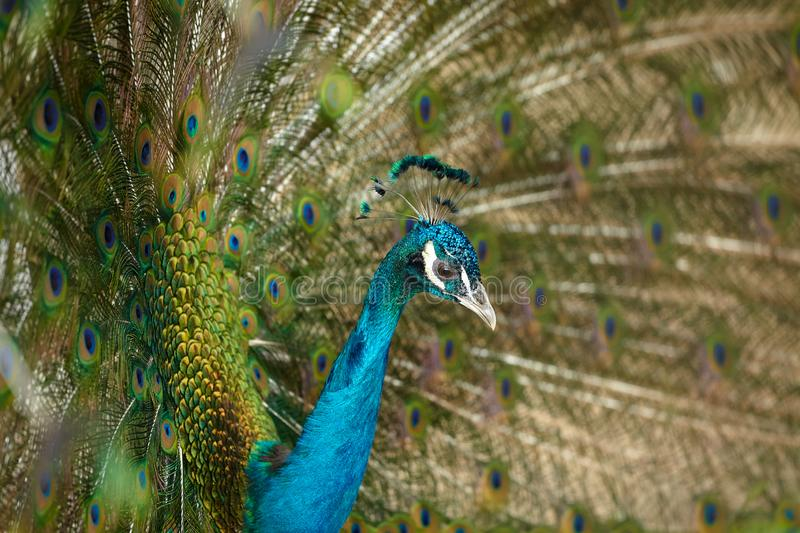 Adult male blue peacock showing its colorful feathers, close up portrait royalty free stock image