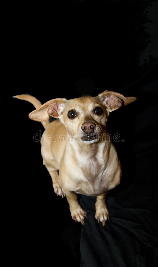 Best Chihuahua Canine Adorable Dog - adult-male-chiweenie-small-breed-dog-resulting-cross-chihuahua-dachshund-84873156  Graphic_584852  .jpg