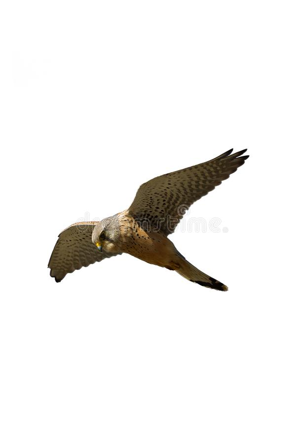 An adult male Common Kestrel. royalty free stock images