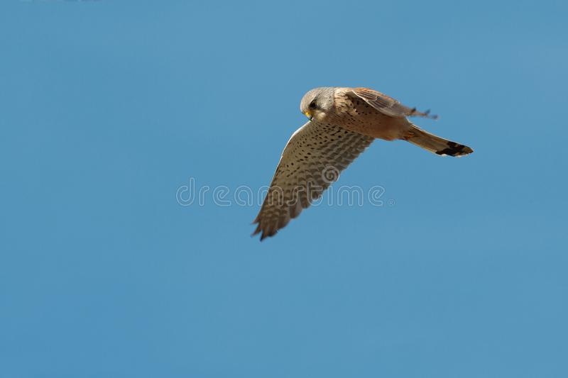 An adult male Common Kestrel hunting, hovering flight. An adult male Common Kestrel, Falco tinnunculus tinnunculus, hunting, hovering in flight, against a clear royalty free stock images