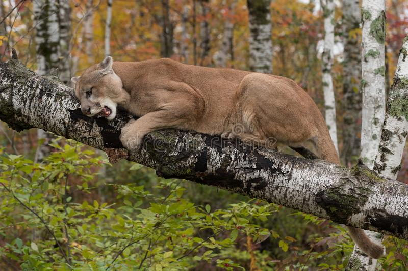 Download Adult Male Cougar Puma Concolor On Birch Branch Snarls Down Stock Image - Image of natural, autumn: 119985227