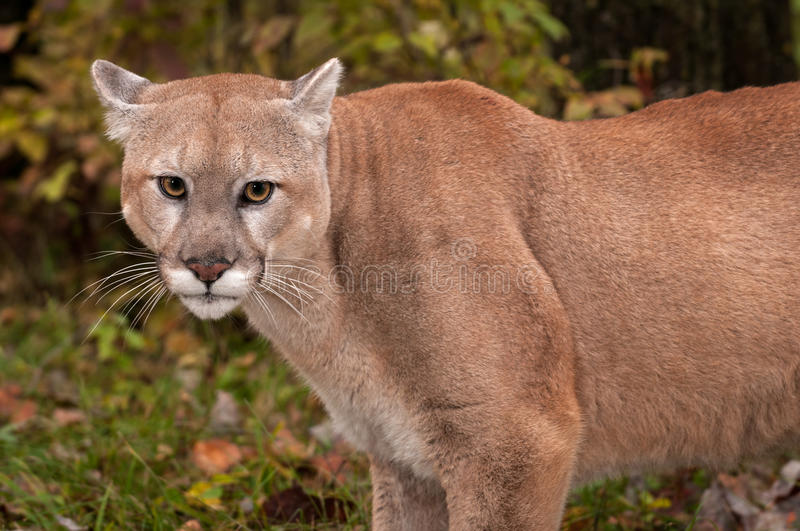 Adult Male Cougar Puma concolor Close Up Ears Back royalty free stock image