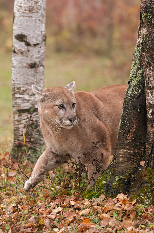 Adult Male Cougar (Puma concolor) Creeps Around Tree. Captive animal royalty free stock photography