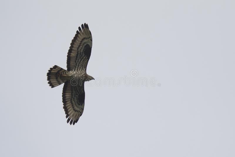 An adult male European honey buzzard Pernis apivorus soaring in the sky. stock photography
