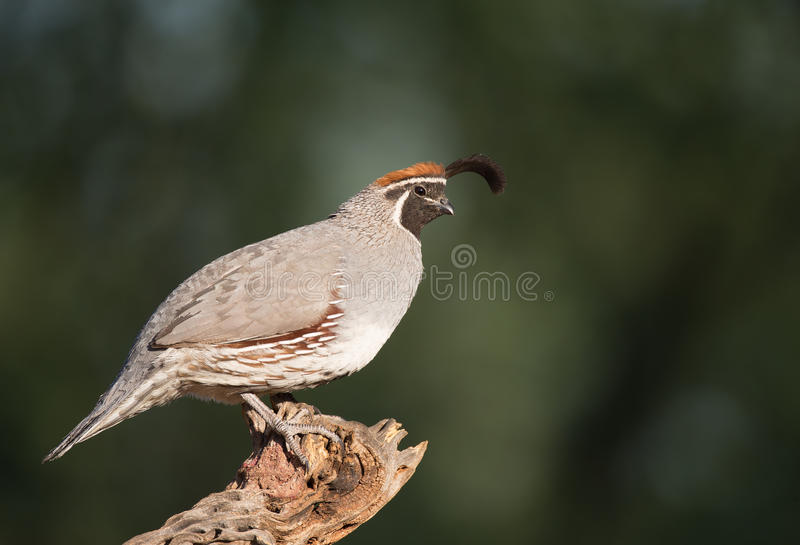 Adult male Gamble's Quail royalty free stock image