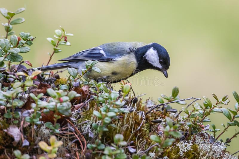 Male Great Tit royalty free stock images