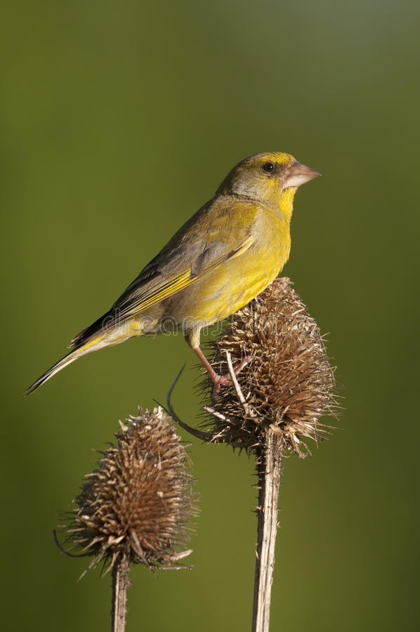 Adult male Greenfinch(Carduelis chloris) stock photo