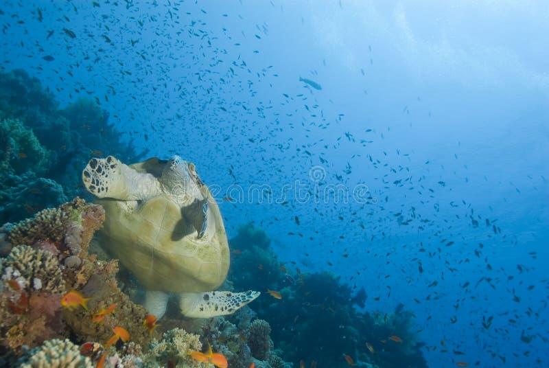 Adult male Hawksbill turtle feeding. stock images