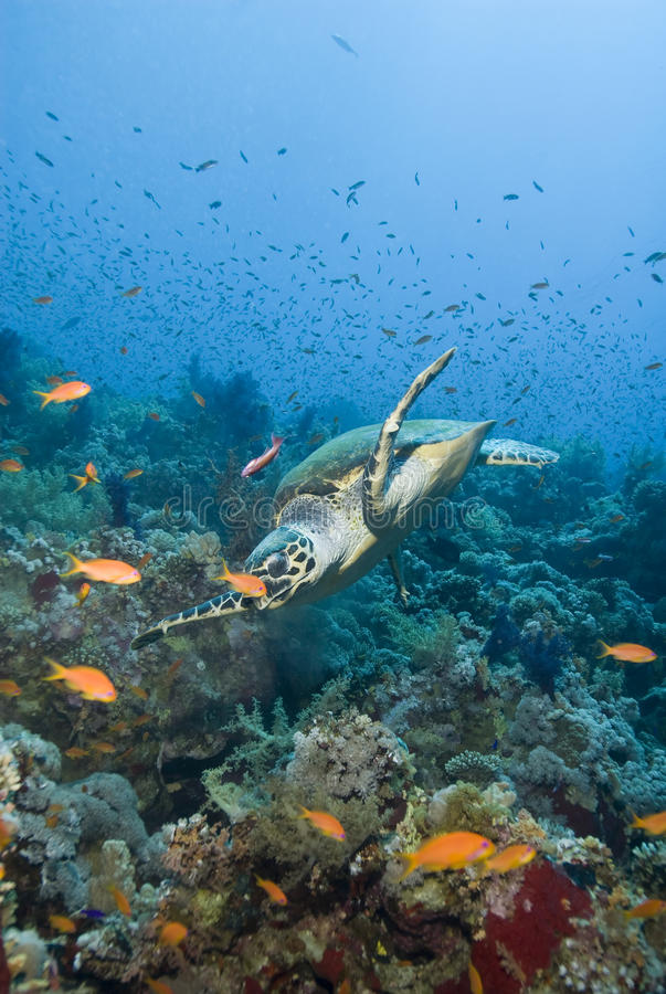 Free Adult Male Hawksbill Turtle Swimming. Royalty Free Stock Photo - 16229585