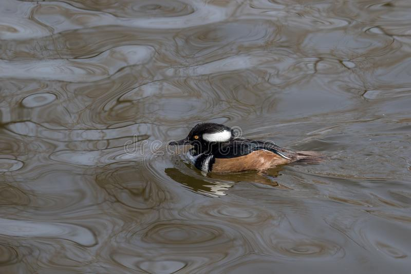 A Hooded Merganser swimming in a lake stock photo