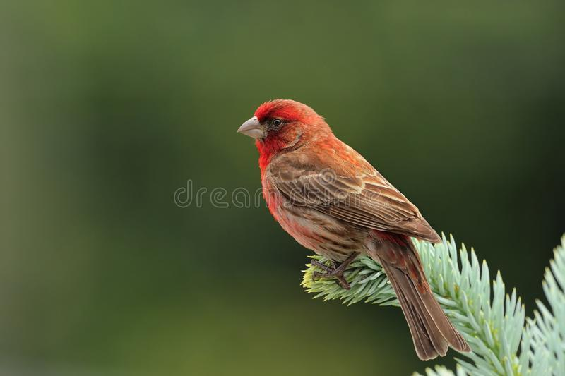 Adult Male House Finch royalty free stock photo