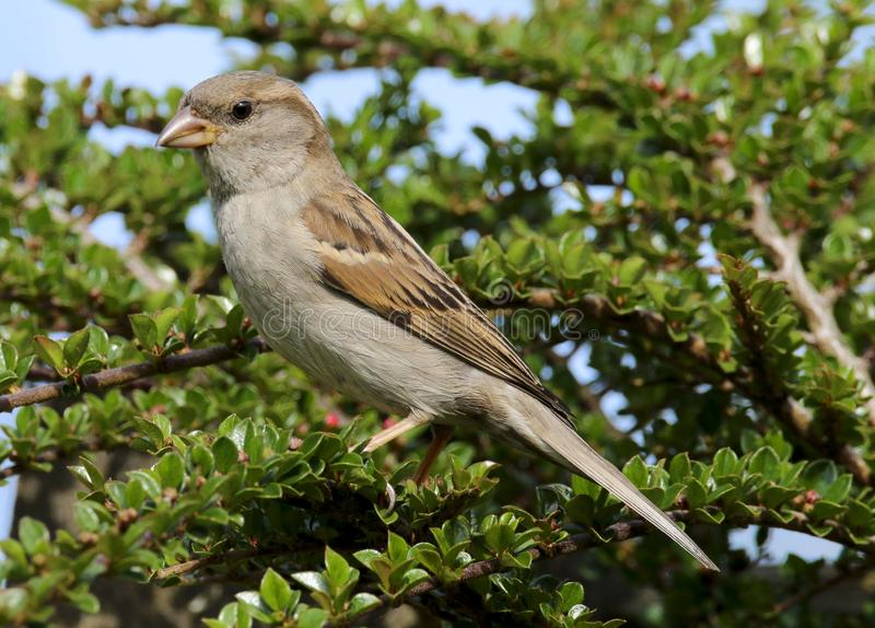 An adult male house sparrow passer domesticusfe stock photos