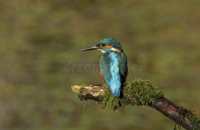 Close up of an Adult male kingfisher alcedo atths stock photography