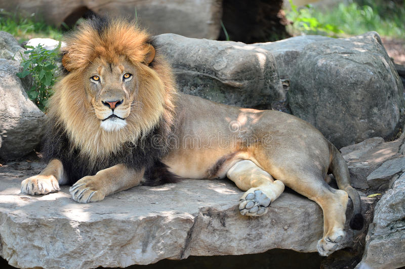 Adult Male Lion. Adult male African lion laying on rocks