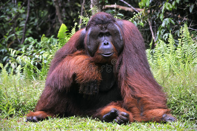 The adult male of the Orangutan. stock photography