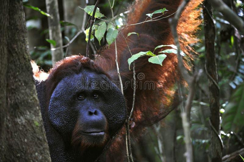 The adult male of the Orangutan. stock image