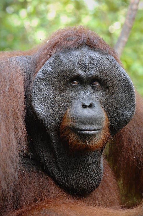 The adult male of the Orangutan. stock photo