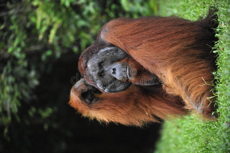 The adult male of the Orangutan. royalty free stock photography