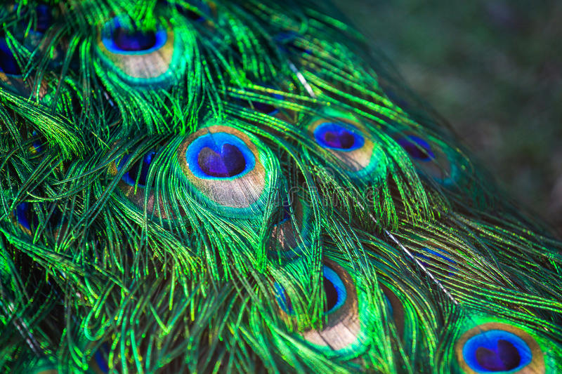 Adult male peacock`s tail. Feather close-up. Breeding birds on farms royalty free stock images