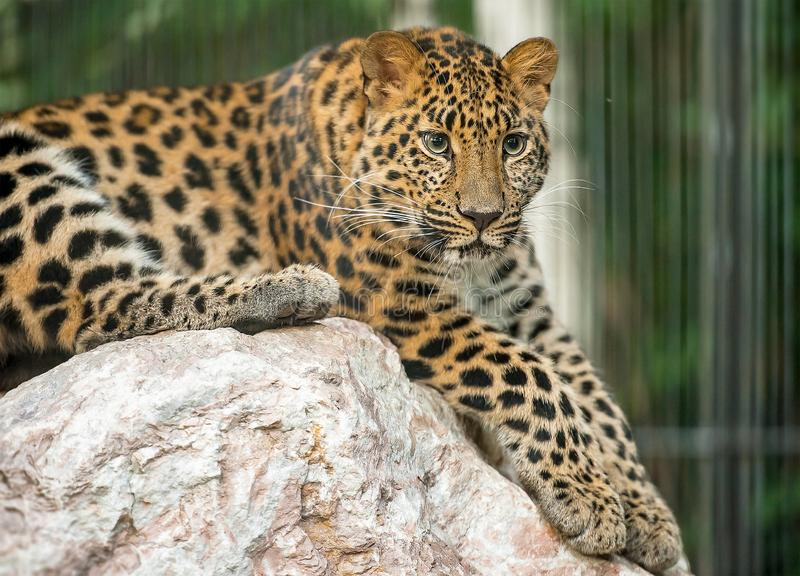 Adult male persian  leopard Panthera pardus saxicolor sitting in the daytime on the stones royalty free stock image