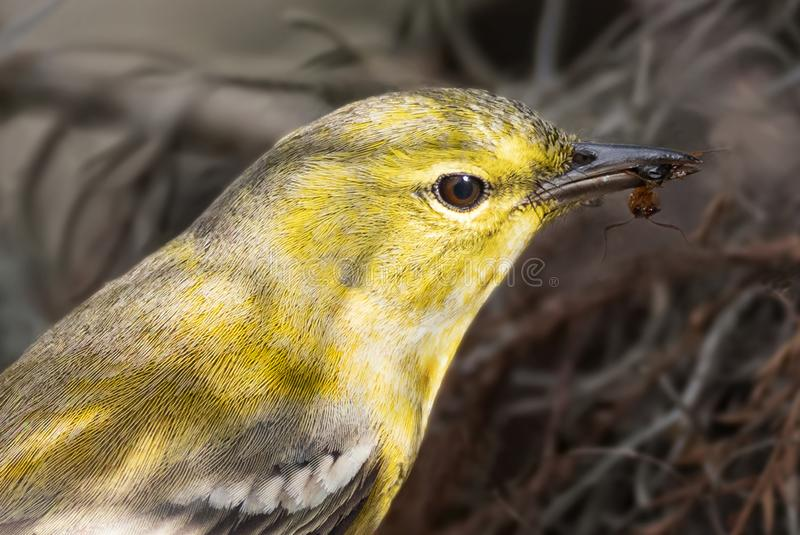Adult Male Pine Warbler Snacking at Corkscrew Swamp Sanctuary near Naples, Florida royalty free stock photos