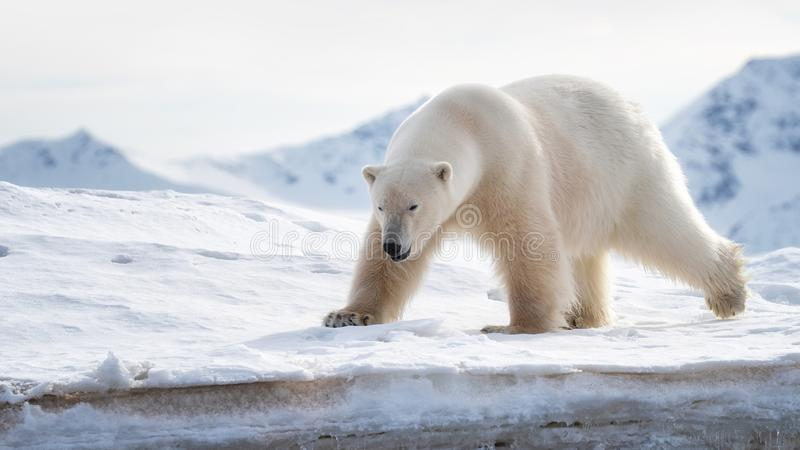 Adult male polar bear stands at the ice edge in Svalbard royalty free stock images