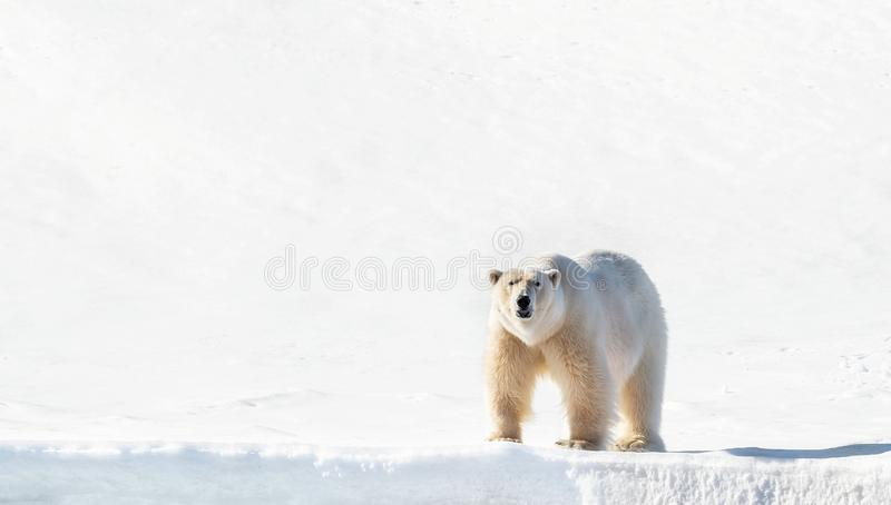 Adult male polar bear stands on the Svalbard snow stock photo
