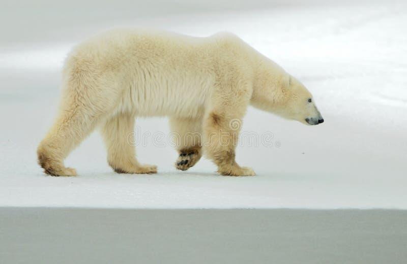 The adult male polar bear (Ursus maritimus) walking on snow. Male polar bear (Ursus maritimus) on the snow. Arctic,polar,tundra stock photos