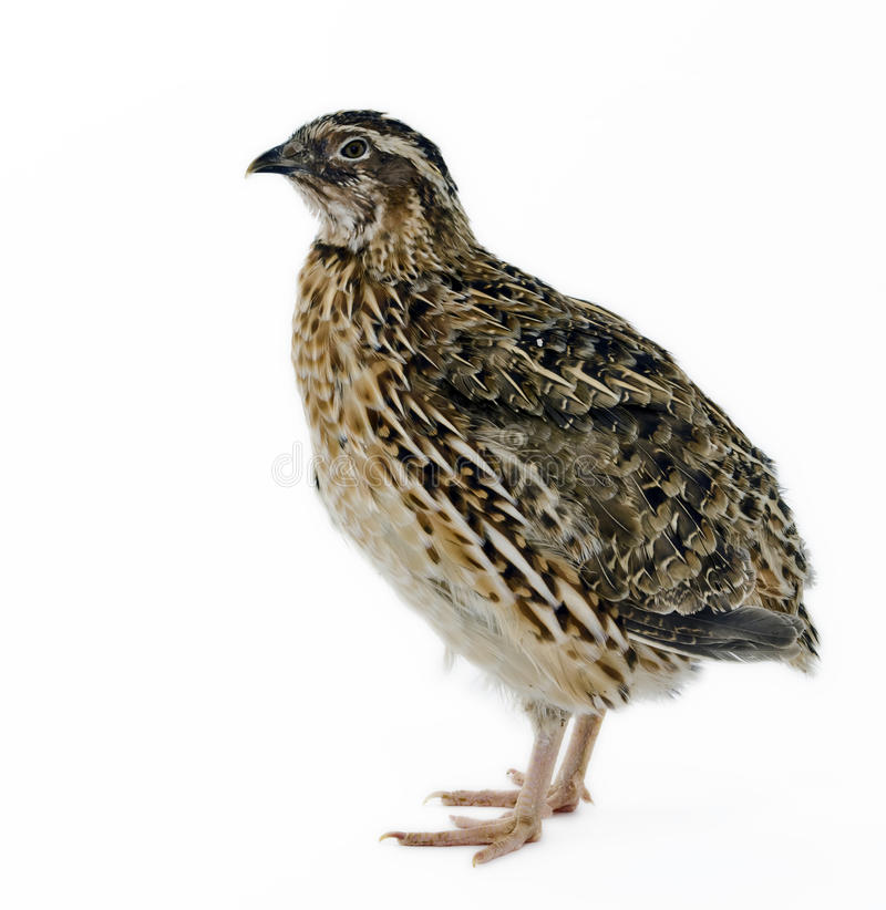 Adult male of quail isolated on white background stock photo