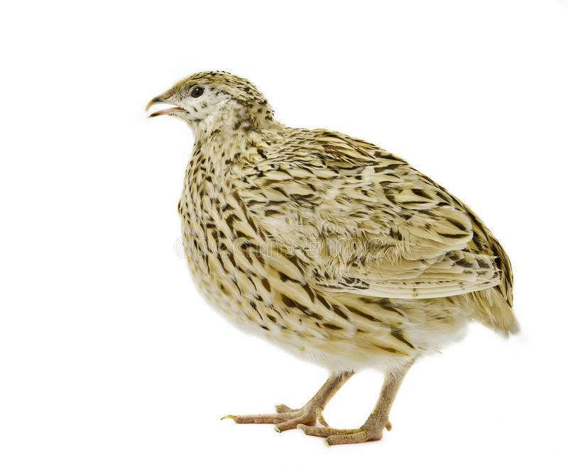 Adult male of quail isolated on white background royalty free stock photography