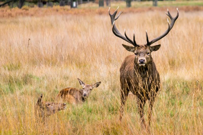 An adult male red deer looks aggressively at the camera royalty free stock image