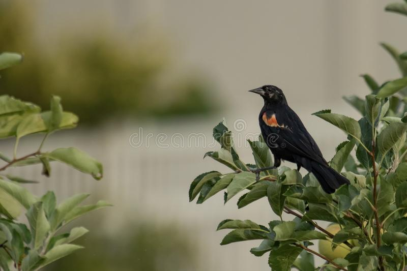 A red-winged blackbird perched in an apple tree stock photography