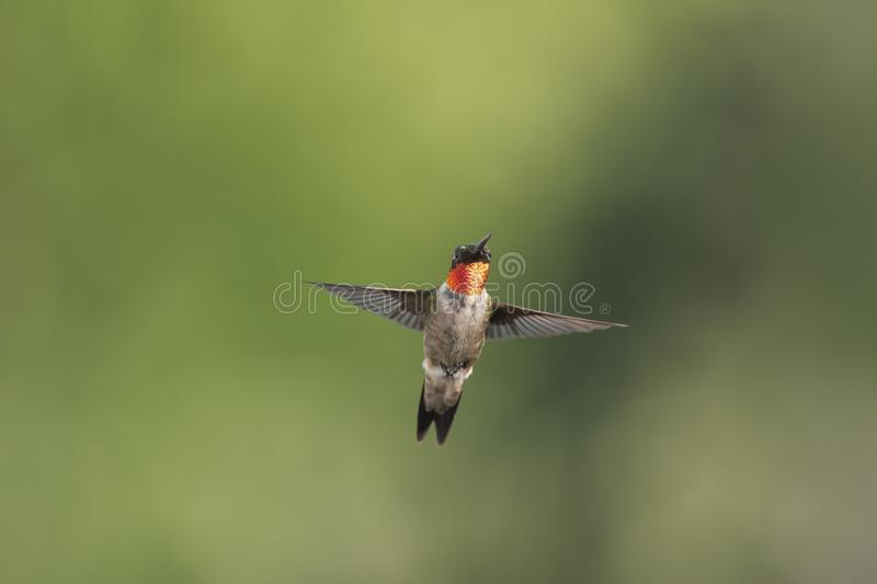 Adult male Ruby-throated Hummingbird in flight. stock images