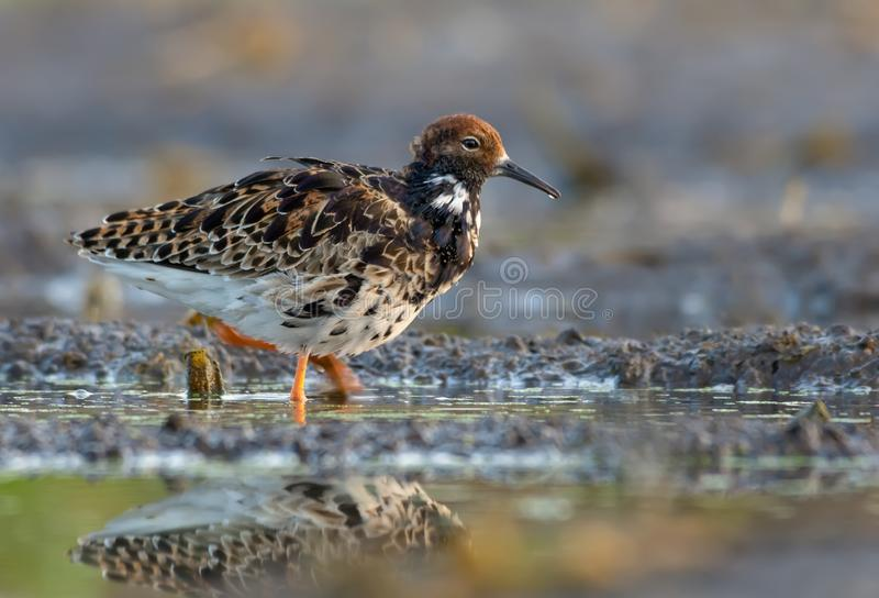 Adult Male Ruff walks in wetlands with dirty damp soil royalty free stock photos